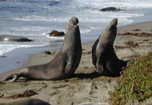 20++ Beda anjing laut dan singa laut terbaru