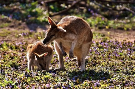 10. Kangaroo