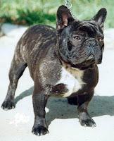 mascotas-y-regalones-domesticos-perros-bulldog-frances