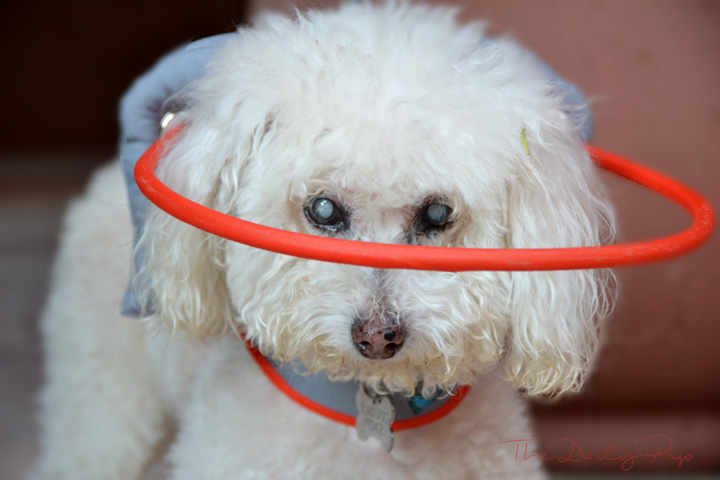 Blind dogs benefit from Muffin's Halo for Blind Dogs