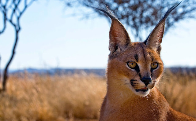 A wild Caracal in a plain in Iran.