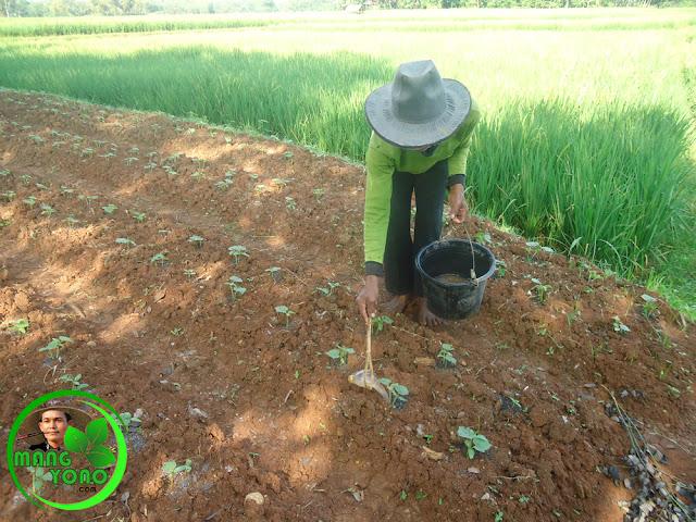 Pemberian / pengaplikasian pupuk kucur pada tanaman Mentimun
