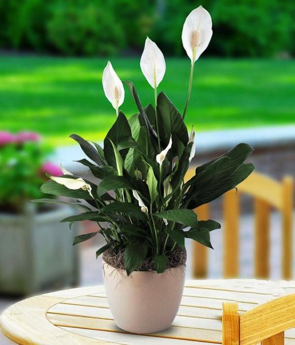 Hình dáng thanh tao và sang trọng của loài hoa mang tên lan ý!