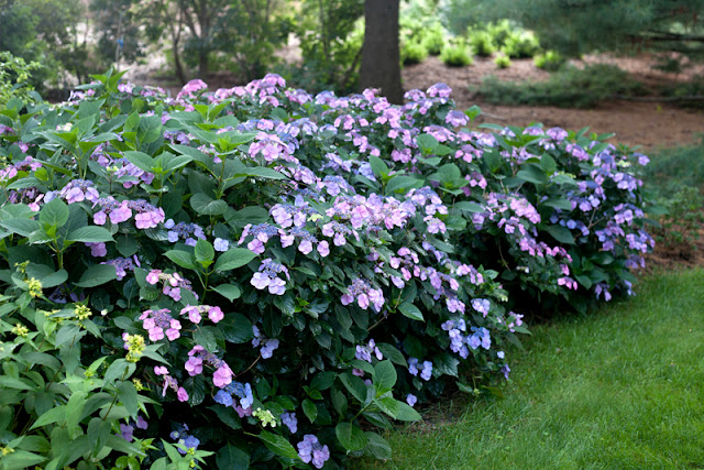 Tuff Stuff™ reblooming mountain hydrangea from Proven Winners ColorChoice