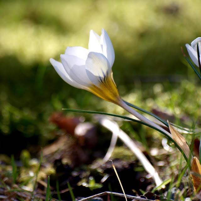 Krokus gør haven smuk allerede i marts