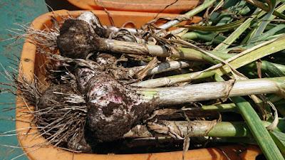 無農薬有機栽培のニンニク
