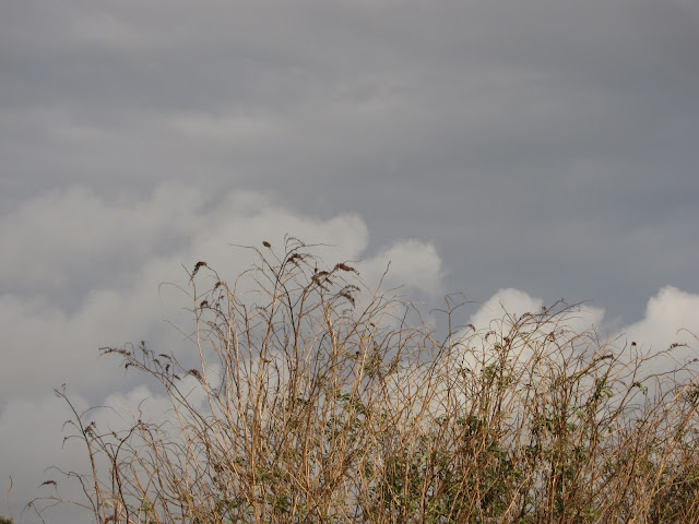 Dead Buddleia Flowers Against Heavy Grey Sky - Christmas Eve 2011