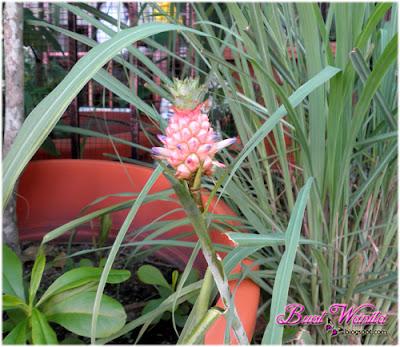 Anak nenas cute macam bunga. Comelnya Anak Nenas Macam Bunga. Gambar Nenas Kecil Cute. Anak Nenas Kecil Bewarna Pink