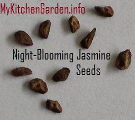 Seeds of Night-Blooming Jasmine
