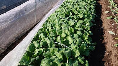 育ち過ぎた茎立菜の苗