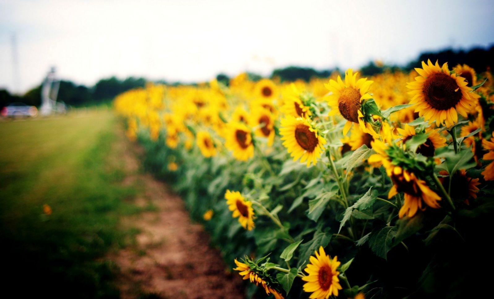Best Nature Sunflowers Hd Wallpaper Wallpapers Quality