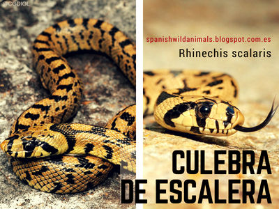 La Culebra de Escalera, Rhinechis scalaris, es una Serpiente de los Montes de la Península Ibérica