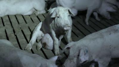 Cerdo con absceso