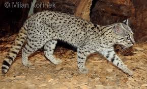 Gato montes Leopardus geoffroyi