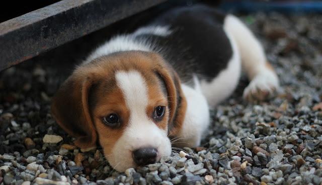 Cute Young Puppy Beautiful HD Wallpaper