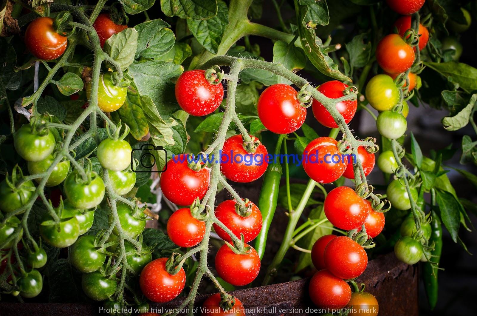manfaat jus tomat untuk diet