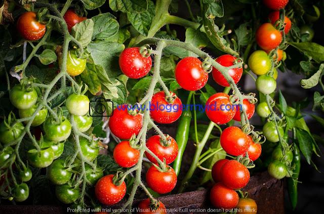 Fungsi vitamin K  Adapun fungsi vitamin k ada tomat yaitu untuk menjaga kesehatan jantung, mencegah osteoporosis, mencegah kanker, mencegah diabetes serta membuat tulang menjadi lebih kuat.  Postingan Terkait : Manfaat Buah Bit yang Jarang Diketahui  18. Fungsi serat  Tomat mengandung banyak serat yang berguna bagi tubuh, adapun manfaat tomat yang mengandung banyak serat untuk mengontrol kadar gula darah, untuk menjaga kesehatan jantung, mencegah stroke, menjaga kesehatan ginjal, menjaga kesehatan kulit, membantu diet, melancarkan BAB, serta menciptakan usus yang sehat.  19. Fungsi zat besi  Kandungan zat besi pada tomat memiliki manfaat untuk meningkatkan kadar hemoglobin, menambah kekuatan otot, meningkatkan fungsi otak, menjaga temperatur tubuh, membawa oksigen, mencegah anemia, meningkatkan fungsi imun, mencegah insomnia, sebagai sumber energi, meningkatkan konsentrasi.  Postingan terkait : Manfaat Buah-buahan Untuk Kesehatan Tubuh  Sebenarnya masih banyak lagi manfaat tomat yang biasa anda gunakan untuk kesehatan dan kecantikan. Anda bisa memanfaatkan tomat untuk menjaga kesehatan anda.  Untuk kelengkapan informasi kesehatan dan kecantikan Anda, sebaiknya Anda baca mengenai Manfaat Buah Pisang Dan Manfaat Buah Nanas pada postingan lalu. Keduanya berguna untuk kesehatan dan kecantikan.