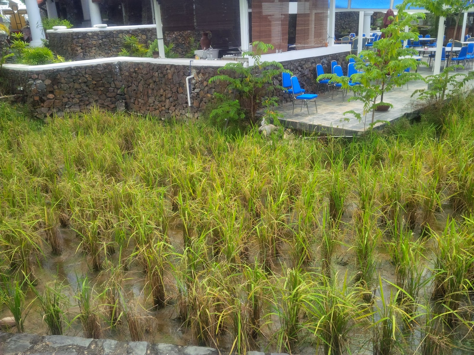 agroturism, beach, gardening, how to grow rice, Laman Padi, Langkawi, Museum, pantai cenang, Rice Garden, tourism, travel