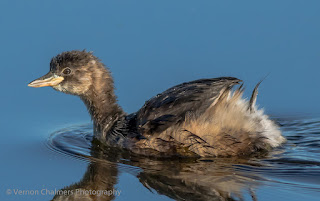 Little Grebe : Diep River, Woodbridge Island Cape Town