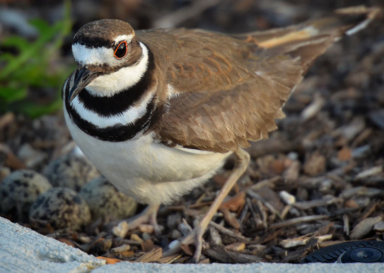 A Killdeer (Charadrius vociferus) stands over four eggs