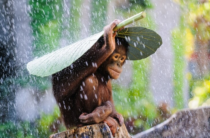 25 Heart-Melting Pictures That Made Even The Toughest Of Us Cry - Photographer Andrew Suryono accidentally took a photo of an orangutan hiding from the rain.