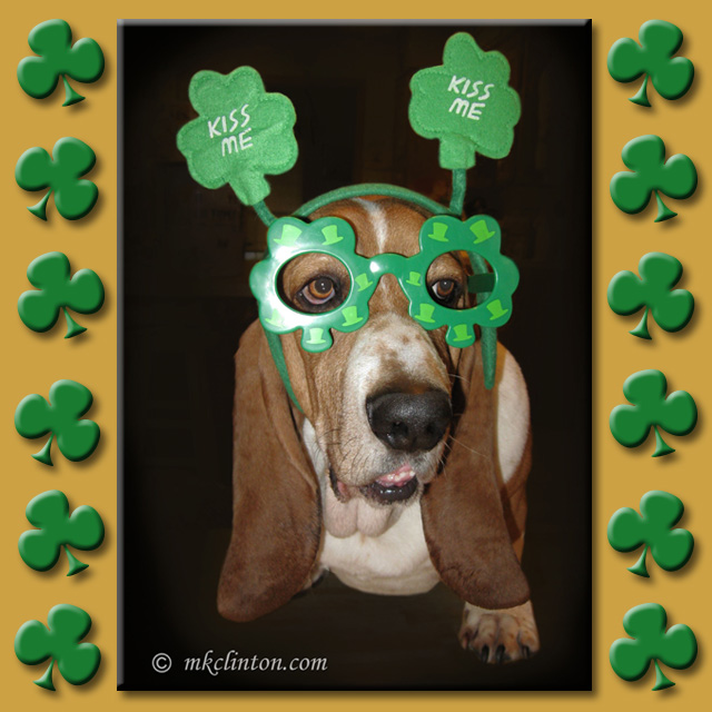 Basset hound wearing St. Patrick's Day glasses and shamrock headband
