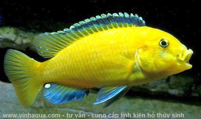 Cá ali vàng