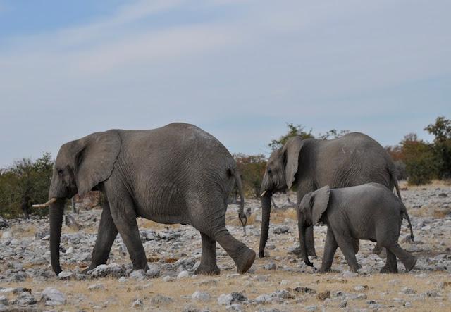fazendo safari por conta própria no Etosha National Park