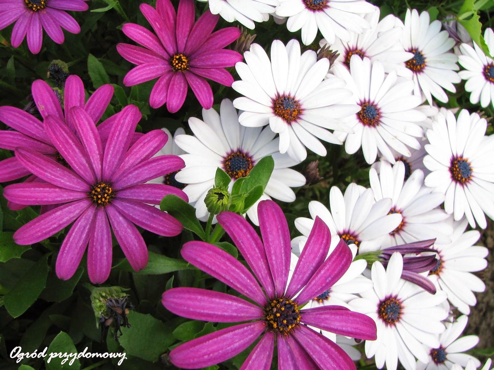 kwiaty w ogrodzie, rośliny w ogrodzie, kwiaty na działce, ogród przydomowy