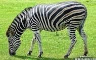 معلومات عن الحمار الوحشى  Zebra بالصور والفديو