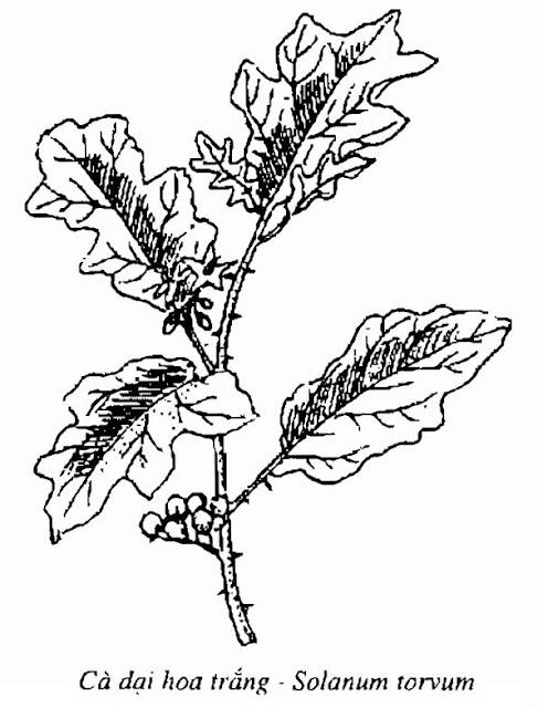 Hình vẽ Cà Dại Hoa Trắng - Solanum torvum - Nguyên liệu làm thuốc Đắp vết thương Rắn Rết cắn