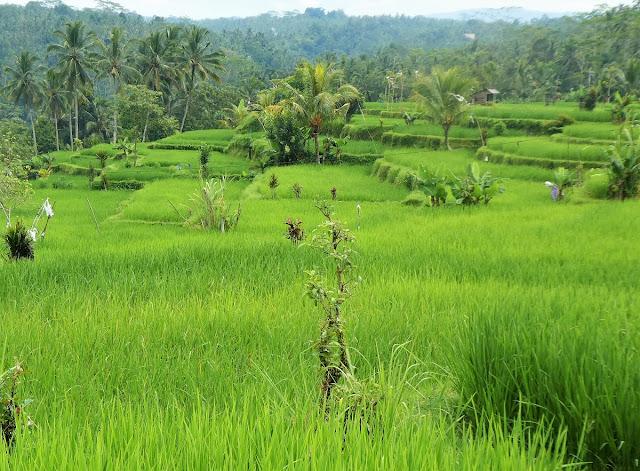 Balis gröna risfält