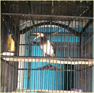 Cara menjinakan burung jalak yang kami sajikan dapat berjalan lancar apabila burung pelihar Cara Menjinakan Burung Jalak
