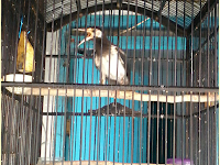 Cara Menjinakan Burung Jalak