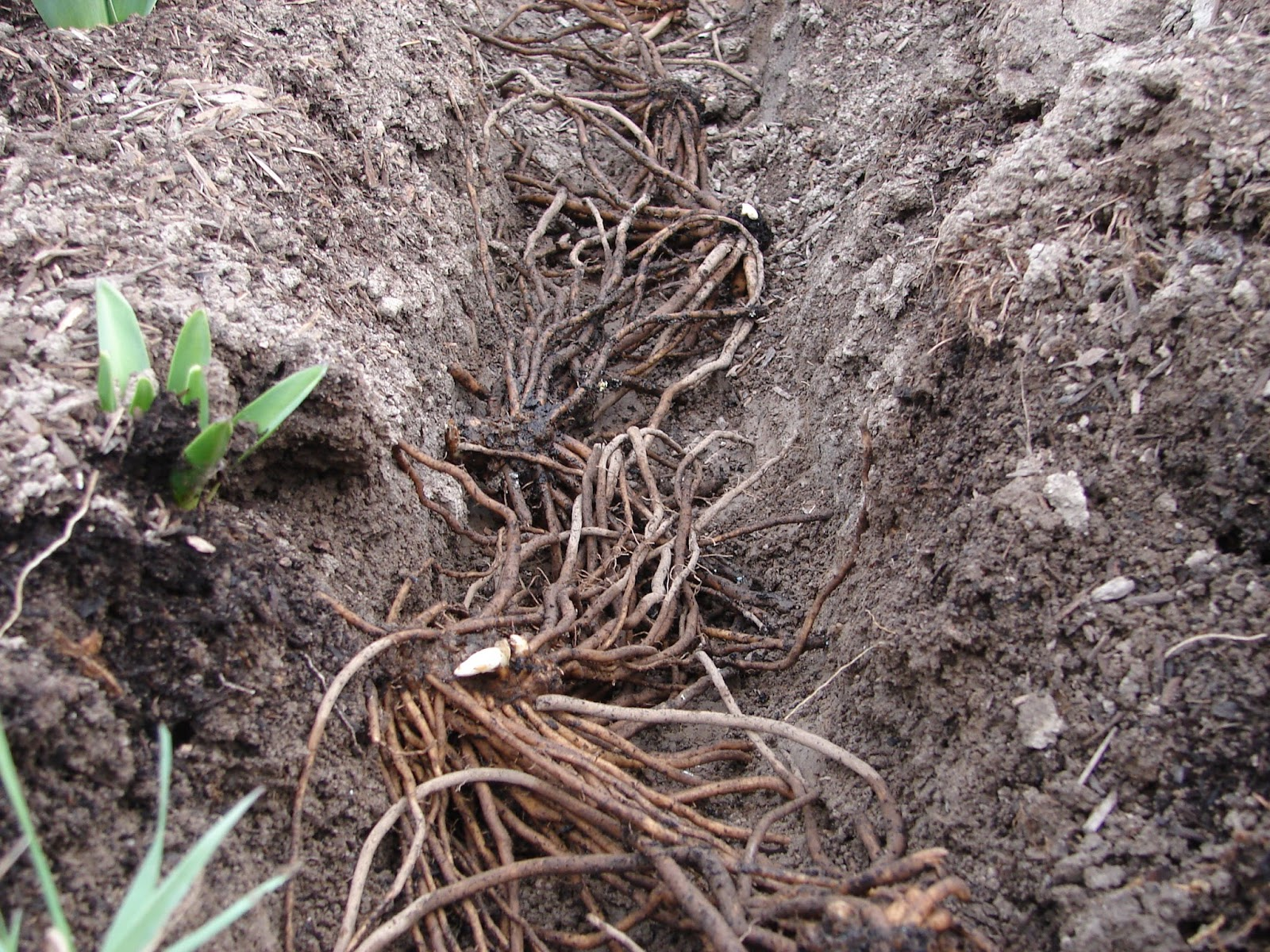 New Utah Gardener: How Do I Plant Asparagus? Planting Asparagus In The Fall