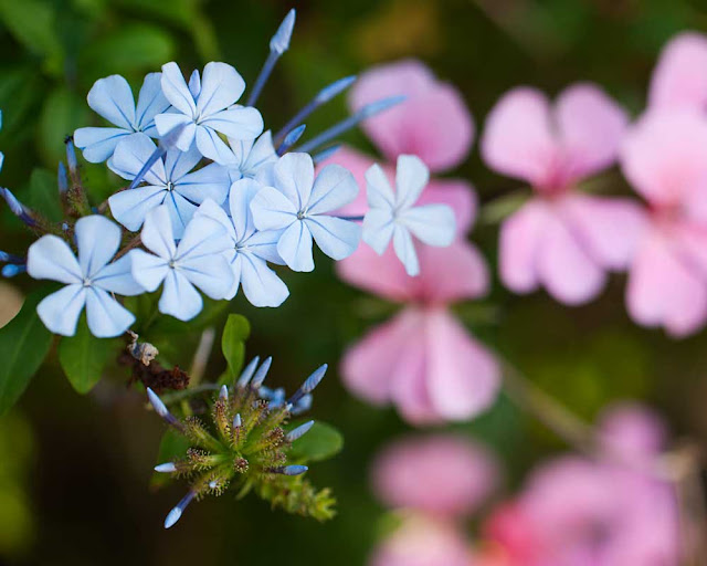 Photo showing blue and pink flowers
