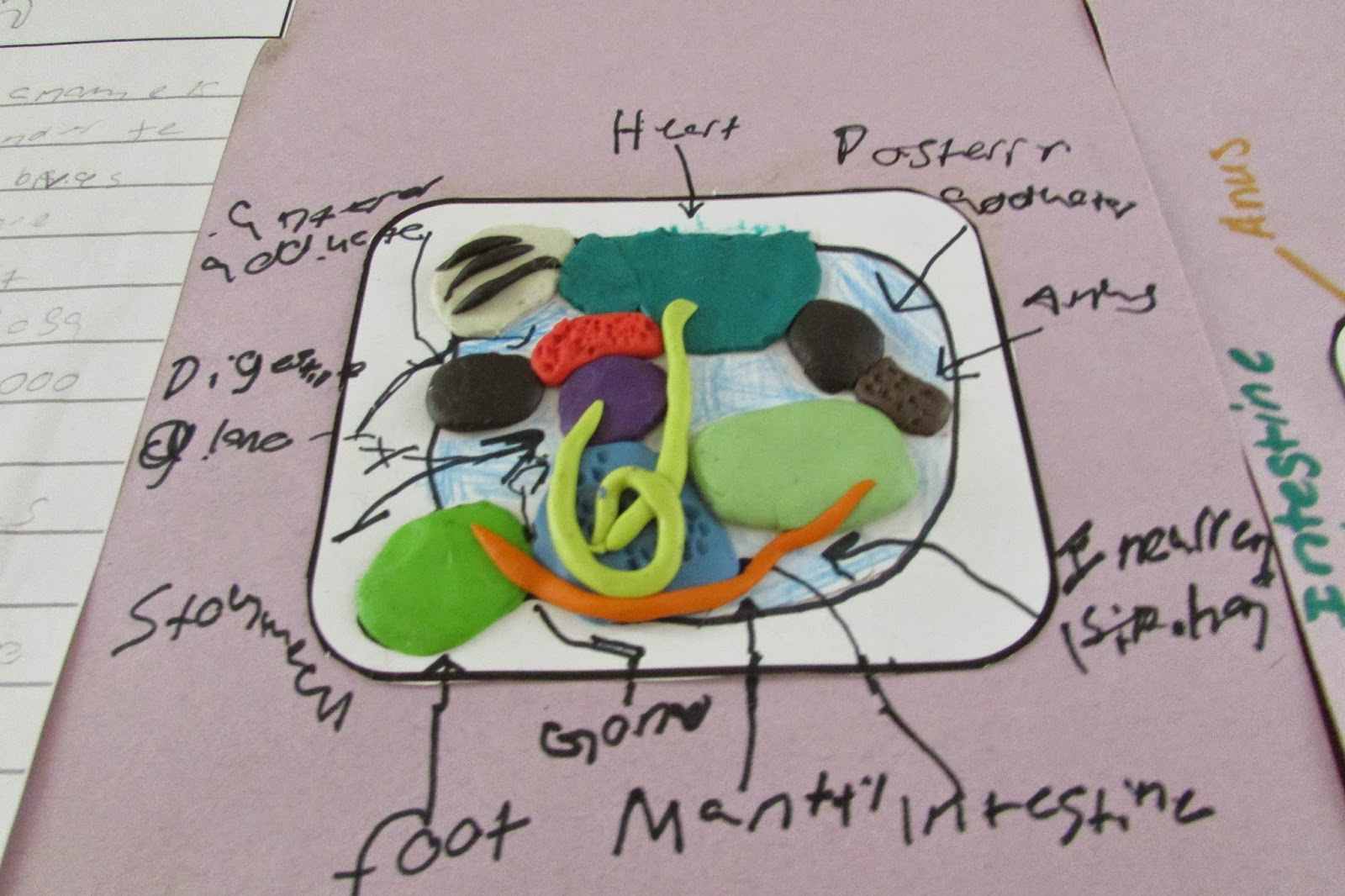 Clam Dissection Diagram Rcd Mcb Wiring Growing A Stem Classroom Curious About Clams