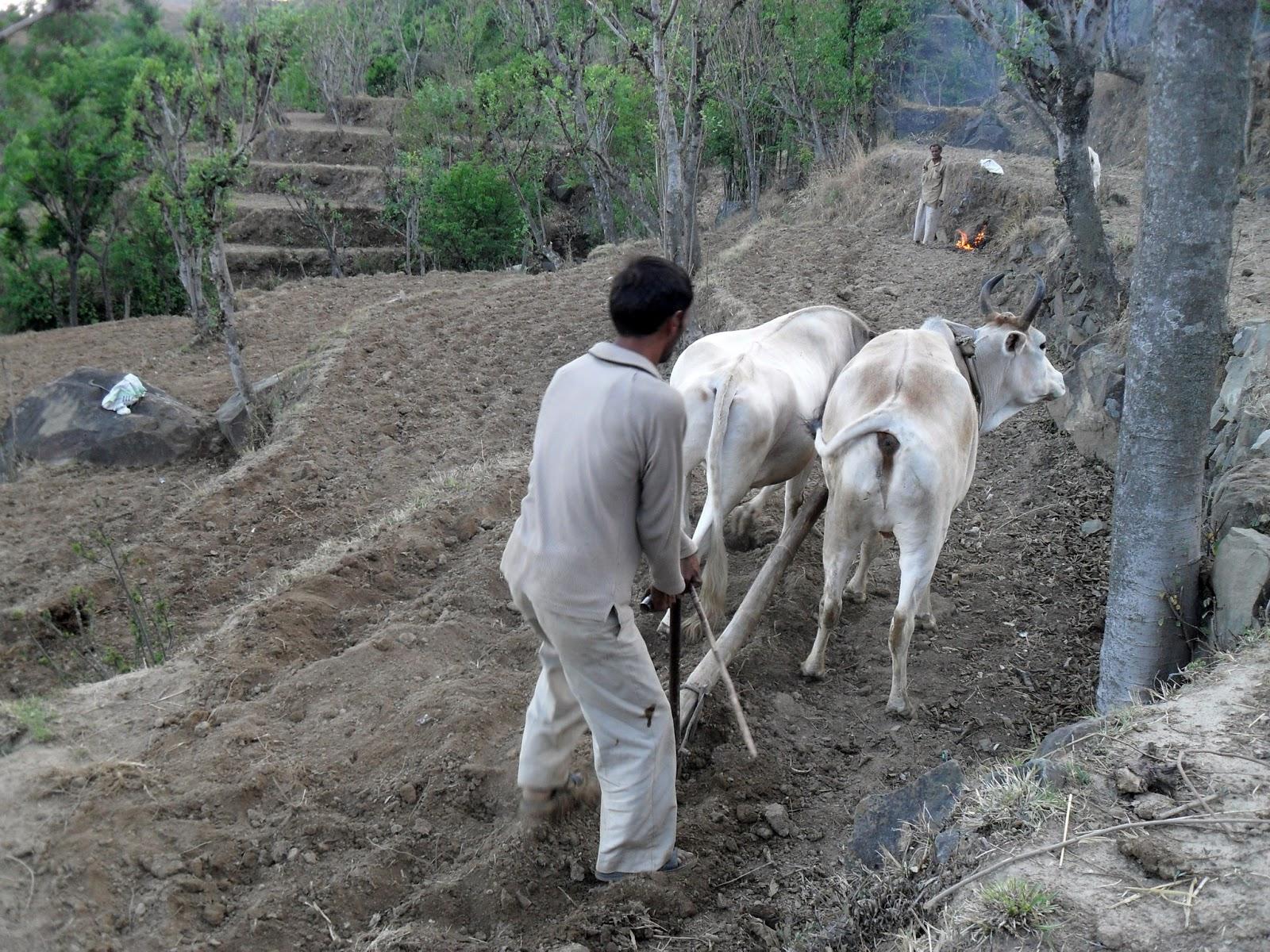 Вспашка террас на быках в Гималаях