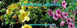 Herbal Medicine use alamanda