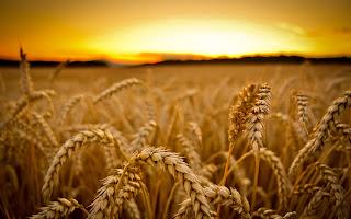 Buenos Aires: superficie sembrada de trigo crece 18,8%