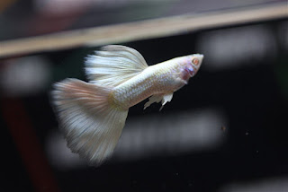 Jual Full White Guppy,  Harga Full White Guppy,  Toko Full White Guppy,  Diskon Full White Guppy,  Beli Full White Guppy,  Review Full White Guppy,  Promo Full White Guppy,  Spesifikasi Full White Guppy,  Full White Guppy Murah,  Full White Guppy Asli,  Full White Guppy Original,  Full White Guppy Jakarta,  Jenis Full White Guppy,  Budidaya Full White Guppy,  Peternak Full White Guppy,  Cara Merawat Full White Guppy,  Tips Merawat Full White Guppy,  Bagaimana cara merawat Full White Guppy,  Bagaimana mengobati Full White Guppy,  Ciri-Ciri Hamil Full White Guppy,  Kandang Full White Guppy,  Ternak Full White Guppy,  Makanan Full White Guppy,  guppy breeding Full White Guppy,  guppies for sale Full White Guppy,  guppy care Full White Guppy,  breeding guppies Full White Guppy,  male guppies Full White Guppy,  female guppies Full White Guppy,  guppy aquarium Full White Guppy,  baby guppies Full White Guppy,  poecilia reticulata Full White Guppy,  guppy tank Full White Guppy,  guppy fry Full White Guppy,  guppy giving birth Full White Guppy,  how long do guppies live Full White Guppy,  guppys Full White Guppy,  guppy guppy Full White Guppy,  guppy food Full White Guppy,  guppy breeding tank Full White Guppy,  fantail guppy Full White Guppy,  guppy breeds Full White Guppy,  guppy s Full White Guppy,  wild guppies Full White Guppy,  guppy babies Full White Guppy,  guppy varieties Full White Guppy,  freshwater guppies Full White Guppy,  guppy female Full White Guppy,  tropical guppies Full White Guppy,  female guppies for sale Full White Guppy,  guppy price Full White Guppy,  raising guppies Full White Guppy,  guppies for sale online Full White Guppy,  guppy info Full White Guppy,  buy guppies online Full White Guppy,  guppy sale Full White Guppy,  buy guppies Full White Guppy,  guppy diseases Full White Guppy,  guppies online Full White Guppy,  caring for guppies Full White Guppy,  best food for guppies Full White Guppy,  food for guppies Full White Guppy,  blue guppy Full White Guppy,  guppy breeding setup Full White Guppy,  guppy birth Full White Guppy,  guppy species Full White Guppy,  gestation period for guppies Full White Guppy,  guppys online Full White Guppy,  guppy care sheet Full White Guppy,  guppy blue Full White Guppy,  keeping guppies Full White Guppy,  guppies for sale cheap Full White Guppy,  the guppy Full White Guppy,  guppy breeding cycle Full White Guppy,  show guppies Full White Guppy,  thai guppy Full White Guppy,  male and female guppies Full White Guppy,  what to feed baby guppies Full White Guppy,  yellow guppy Full White Guppy,  guppy names Full White Guppy,  guppy gestation period Full White Guppy,  feeding guppies Full White Guppy,  guppy genetics Full White Guppy,  guppy show Full White Guppy,  turquoise guppy Full White Guppy,  guppy fry care Full White Guppy,  guppy games Full White Guppy,  guppy gestation Full White Guppy,  guppy colors Full White Guppy,  guppy tank setup Full White Guppy,  trinidadian guppies Full White Guppy,  guppies having babies Full White Guppy,  guppy strains Full White Guppy,  what do guppies eat Full White Guppy,  what to feed guppies Full White Guppy,  guppy life span Full White Guppy,  how to care for guppies Full White Guppy,  guppy male and female Full White Guppy,  what is a guppy Full White Guppy,  guppy natural habitat Full White Guppy,  german guppy Full White Guppy,  guppy poecilia reticulata Full White Guppy,  guppy images Full White Guppy,  images of guppies Full White Guppy,  fishguppy Full White Guppy,  guppy facts Full White Guppy,  how many babies do guppies have Full White Guppy,  how big do guppies get Full White Guppy,  how to take care of guppies Full White Guppy,  fan tailed guppies Full White Guppy,  guppy pregnant Full White Guppy,  guppy life cycle Full White Guppy,  temperature for guppies Full White Guppy,  what are guppies Full White Guppy,  guppies restaurant Full White Guppy,  guppy definition Full White Guppy,  guppy meaning Full White Guppy,  guppy size Full White Guppy,  define guppy Full White Guppy,  guppy wiki Full White Guppy,  how do guppies give birth Full White Guppy,  baby guppys Full White Guppy,  guppies bar Full White Guppy,  how many fry do guppies have Full White Guppy,  guppy behavior Full White Guppy,  how many babies does a guppy have Full White Guppy,  where do guppies come from Full White Guppy,  how do guppies reproduce Full White Guppy,  what does guppy mean Full White Guppy,  what is guppy Full White Guppy,  types of guppy Full White Guppy,  guppy guppies Full White Guppy,  guppy house hours Full White Guppy,  guppys on the go Full White Guppy,  guppys restaurant Full White Guppy,  guppies definition Full White Guppy,  do guppies eat their babies Full White Guppy,  gestation guppy Full White Guppy,  bubble guppies Full White Guppy,  guppy Full White Guppy,  Full White Guppy Jakarta,  Full White Guppy Bandung,  Full White Guppy Medan,  Full White Guppy Bali,  Full White Guppy Makassar,  Full White Guppy Jambi,  Full White Guppy Pekanbaru,  Full White Guppy Palembang,  Full White Guppy Sumatera,  Full White Guppy Langsa,  Full White Guppy Lhokseumawe,  Full White Guppy Meulaboh,  Full White Guppy Sabang,  Full White Guppy Subulussalam,  Full White Guppy Denpasar,  Full White Guppy Pangkalpinang,  Full White Guppy Cilegon,  Full White Guppy Serang,  Full White Guppy Tangerang Selatan,  Full White Guppy Tangerang,  Full White Guppy Bengkulu,  Full White Guppy Gorontalo,  Full White Guppy Kota Administrasi Jakarta Barat,  Full White Guppy Kota Administrasi Jakarta Pusat,  Full White Guppy Kota Administrasi Jakarta Selatan,  Full White Guppy Kota Administrasi Jakarta Timur,  Full White Guppy Kota Administrasi Jakarta Utara,  Full White Guppy Sungai Penuh,  Full White Guppy Jambi,  Full White Guppy Bandung,  Full White Guppy Bekasi,  Full White Guppy Bogor,  Full White Guppy Cimahi,  Full White Guppy Cirebon,  Full White Guppy Depok,  Full White Guppy Sukabumi,  Full White Guppy Tasikmalaya,  Full White Guppy Banjar,  Full White Guppy Magelang,  Full White Guppy Pekalongan,  Full White Guppy Purwokerto,  Full White Guppy Salatiga,  Full White Guppy Semarang,  Full White Guppy Surakarta,  Full White Guppy Tegal,  Full White Guppy Batu,  Full White Guppy Blitar,  Full White Guppy Kediri,  Full White Guppy Madiun,  Full White Guppy Malang,  Full White Guppy Mojokerto,  Full White Guppy Pasuruan,  Full White Guppy Probolinggo,  Full White Guppy Surabaya,  Full White Guppy Pontianak,  Full White Guppy Singkawang,  Full White Guppy Banjarbaru,  Full White Guppy Banjarmasin,  Full White Guppy Palangkaraya,  Full White Guppy Balikpapan,  Full White Guppy Bontang,  Full White Guppy Samarinda,  Full White Guppy Tarakan,  Full White Guppy Batam,  Full White Guppy Tanjungpinang,  Full White Guppy Bandar Lampung,  Full White Guppy Kotabumi,  Full White Guppy Liwa,  Full White Guppy Metro,  Full White Guppy Ternate,  Full White Guppy Tidore Kepulauan,  Full White Guppy Ambon,  Full White Guppy Tual,  Full White Guppy Bima,  Full White Guppy Mataram,  Full White Guppy Kupang,  Full White Guppy Sorong,  Full White Guppy Jayapura,  Full White Guppy Dumai,  Full White Guppy Pekanbaru,  Full White Guppy Makassar,  Full White Guppy Palopo,  Full White Guppy Parepare,  Full White Guppy Palu,  Full White Guppy Bau-Bau,  Full White Guppy Kendari,  Full White Guppy Bitung,  Full White Guppy Kotamobagu,  Full White Guppy Manado,  Full White Guppy Tomohon,  Full White Guppy Bukittinggi,  Full White Guppy Padang,  Full White Guppy Padangpanjang,  Full White Guppy Pariaman,  Full White Guppy Payakumbuh,  Full White Guppy Sawahlunto,  Full White Guppy Solok,  Full White Guppy Lubuklinggau,  Full White Guppy Pagaralam,  Full White Guppy Palembang,  Full White Guppy Prabumulih,  Full White Guppy Binjai,  Full White Guppy Medan,  Full White Guppy Padang Sidempuan,  Full White Guppy Pematangsiantar,  Full White Guppy Sibolga,  Full White Guppy Tanjungbalai,  Full White Guppy Tebingtinggi,  Full White Guppy Yogyakarta,