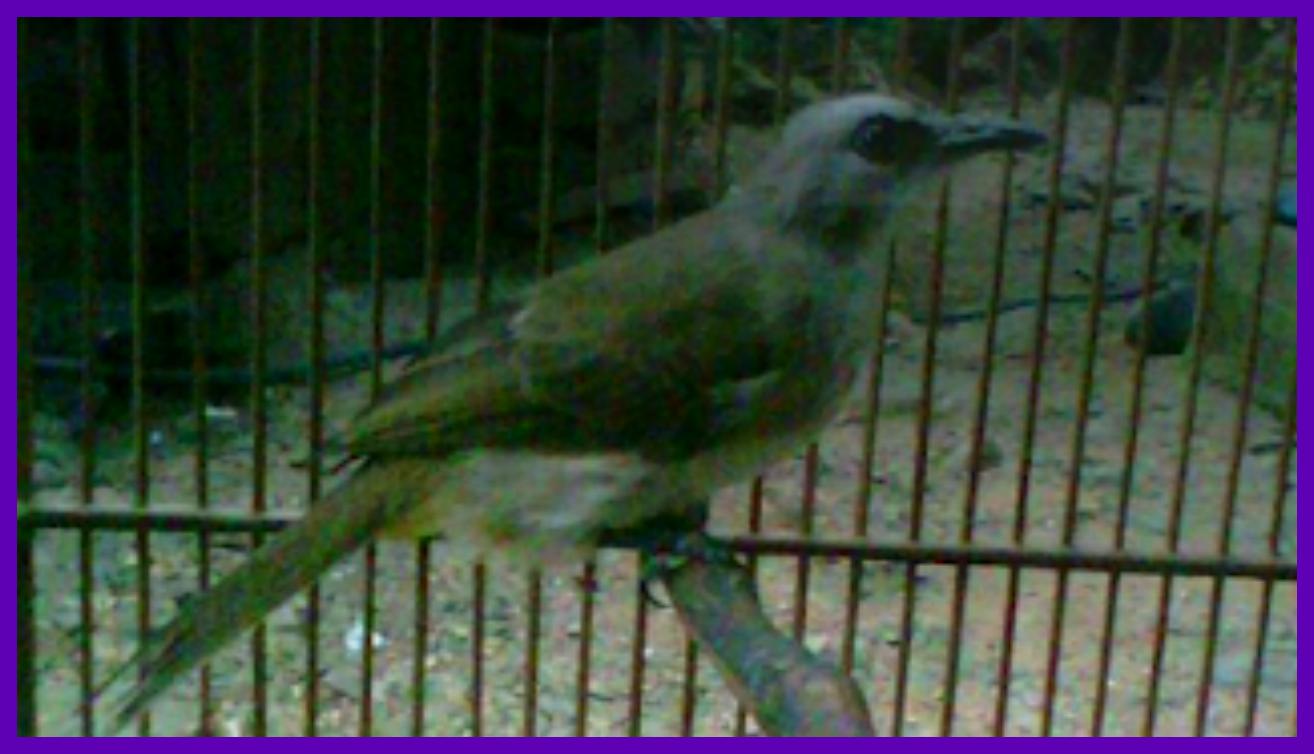 menjinakkan burung tucukan