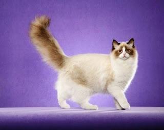 Ciri-ciri Kucing Ragdoll, dan Keunggulannya Sebagai Hewan Peliharaan di Rumah