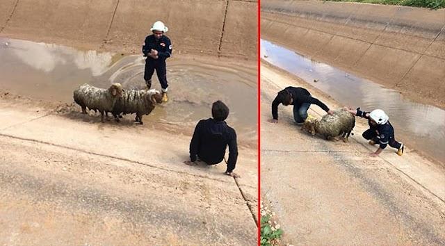 Sulama kanalına düşen koyunlar kurtarıldı