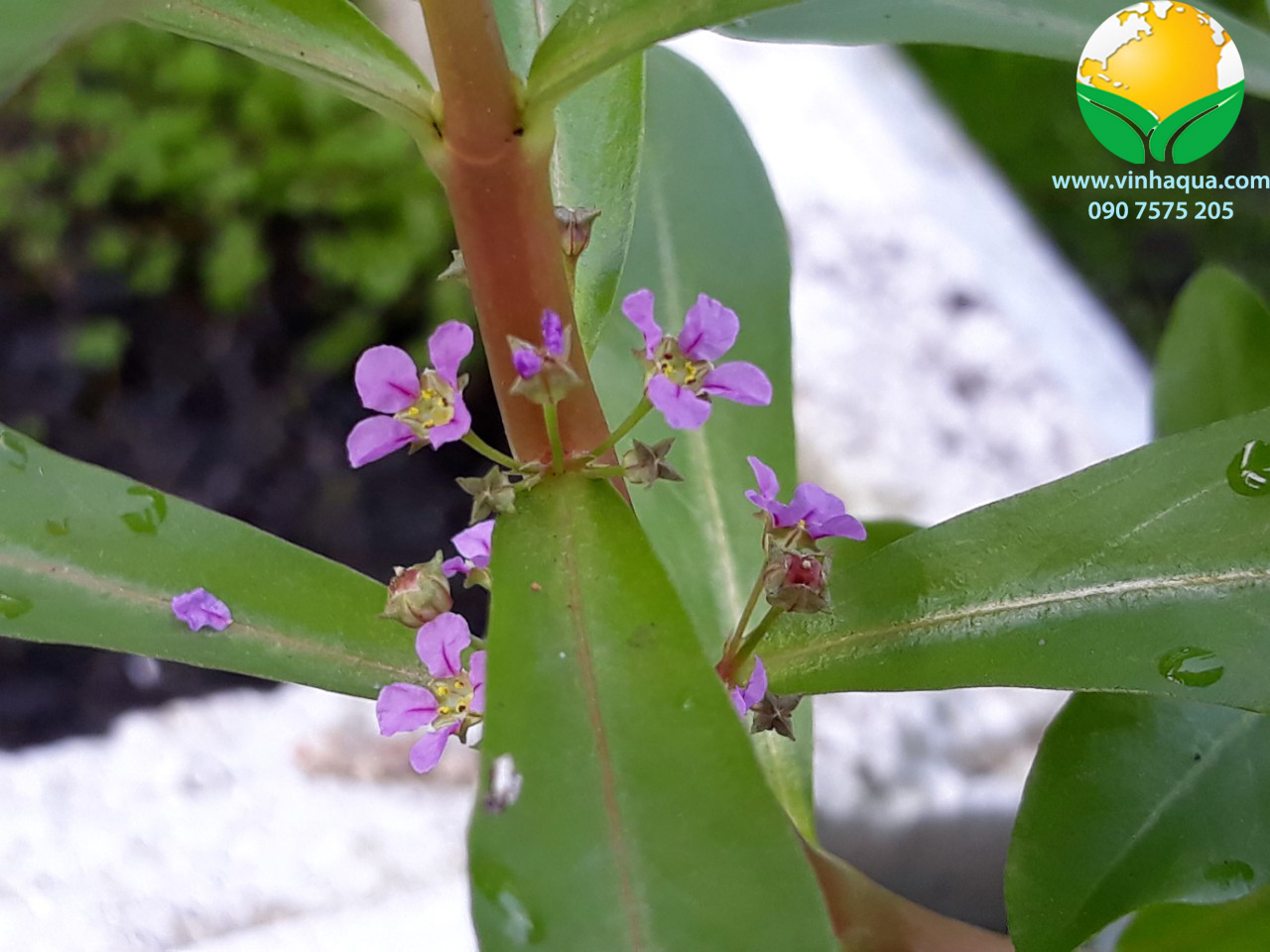 Hoa của cây thủy sinh Hồng Liễu