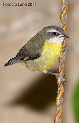 birds Bananaquit