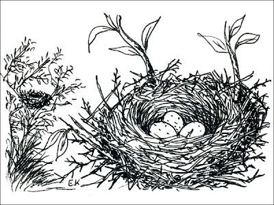 nido de Rara Phytotoma rara