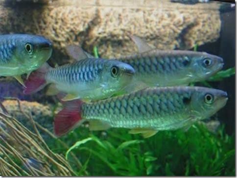 Cách nuôi cá Thanh Tử Quan - Bình Khách