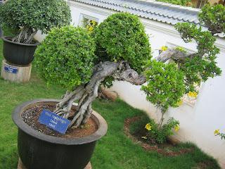 teknik menanam bonsai pohon beringin dan serut