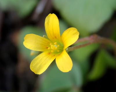 Flor amarilla de Oxalis corniculata